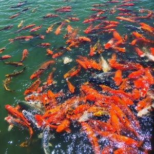 Koi in lake at Hubers